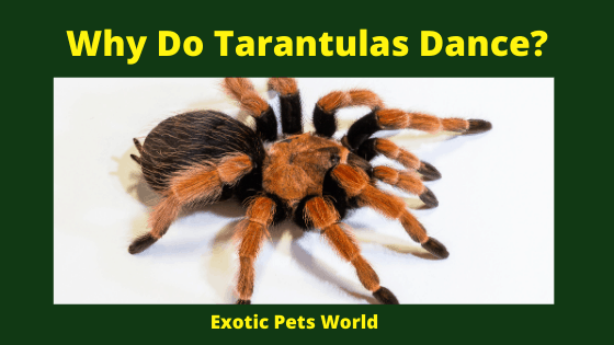 Why Do Tarantulas Dance_