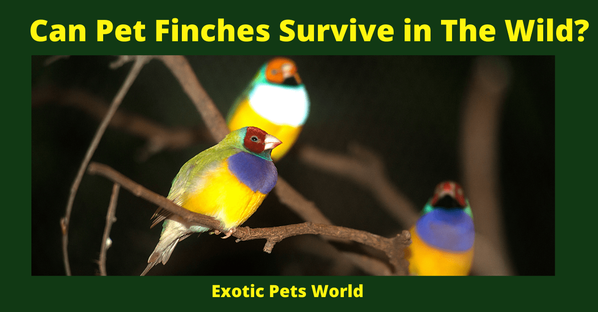 Can Pet Finches Survive in The Wild?