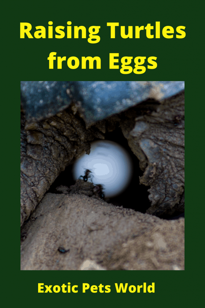 Raising Turtles from Eggs
