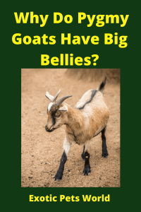 Why Do Pygmy Goats Have Big Bellies_