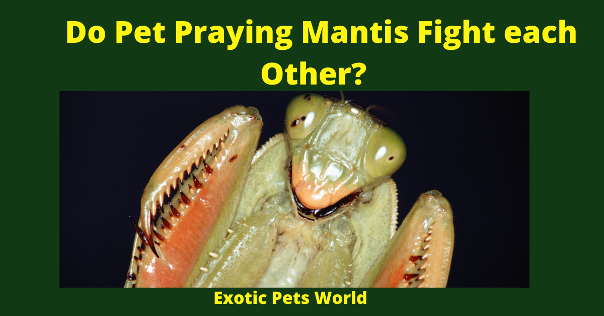 Do Pet Praying Mantis Fight each Other_