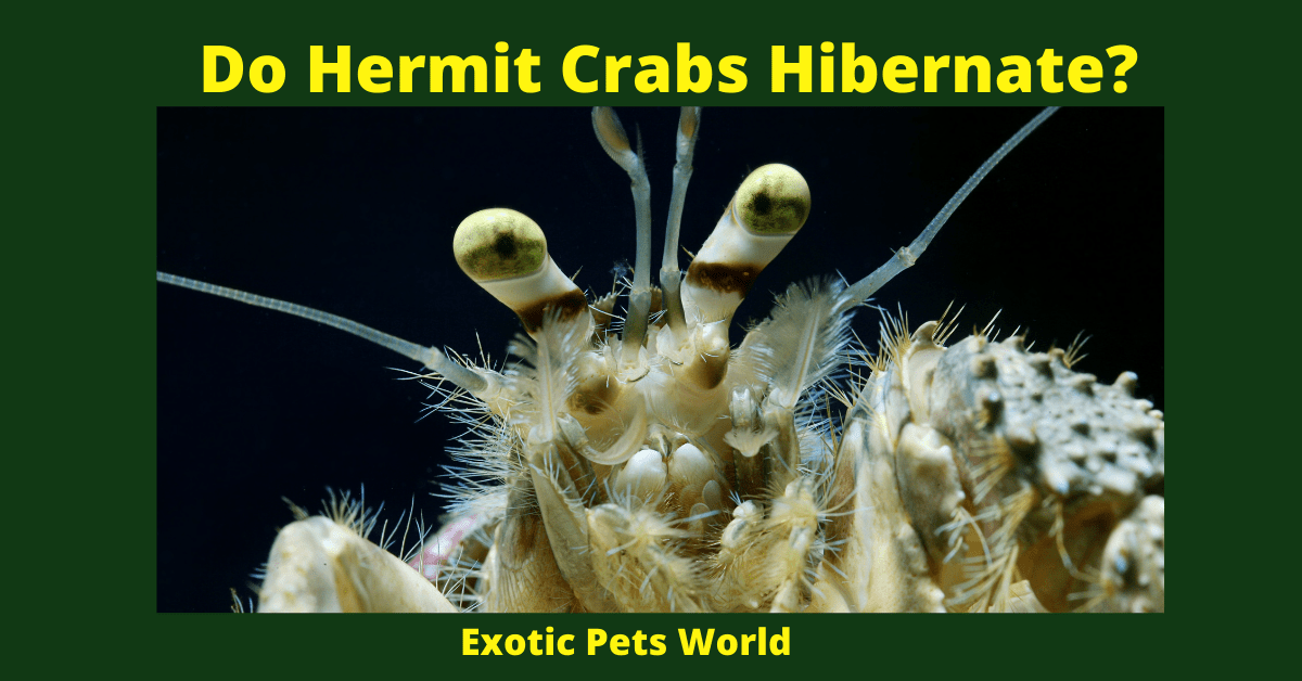 Do hermit crabs hibernate
