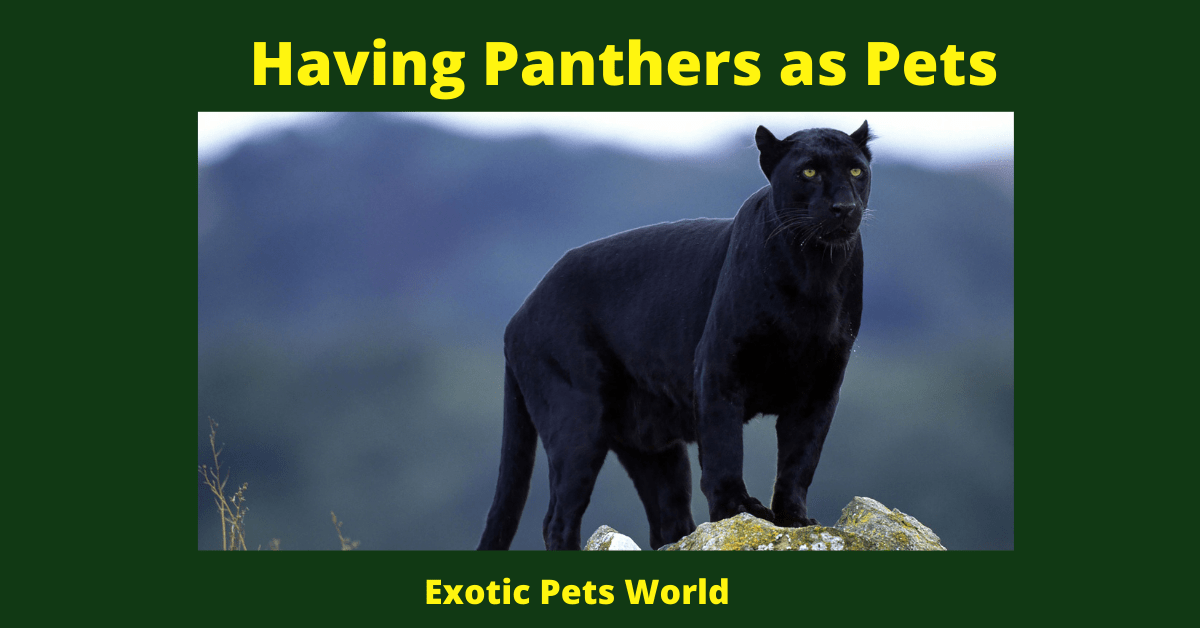 Having Panthers as Pets