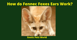 How do Fennec Foxes Ears Work?