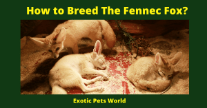 How to Breed The Fennec Fox