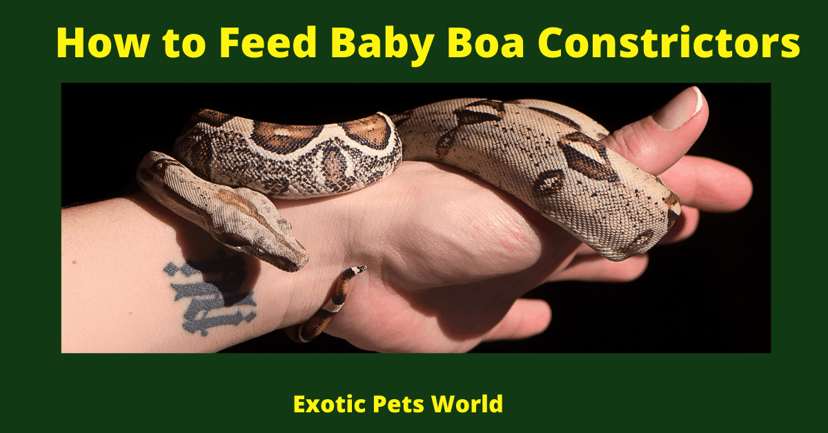 How to Feed Baby Boa Constrictors