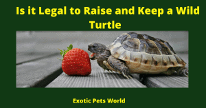 Is it Legal to Raise and Keep a Wild Turtle
