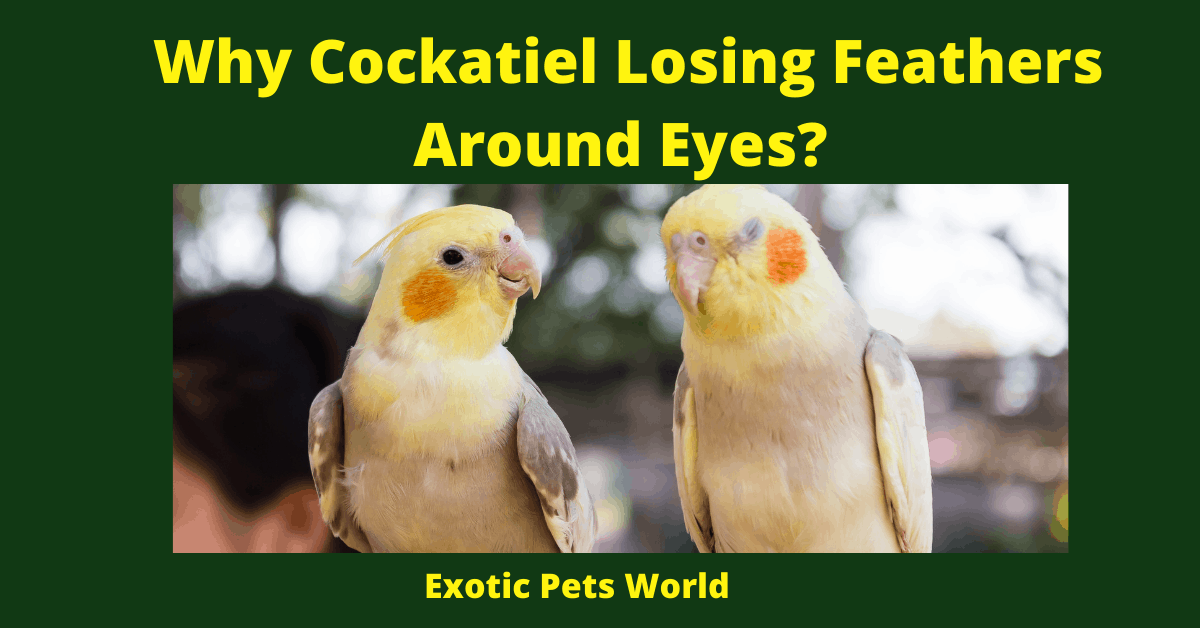 Why Cockatiel Losing Feathers Around Eyes_