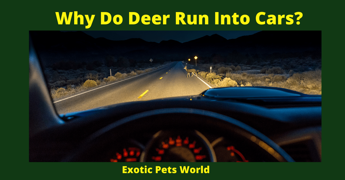 Why Do Deer Run Into Cars_