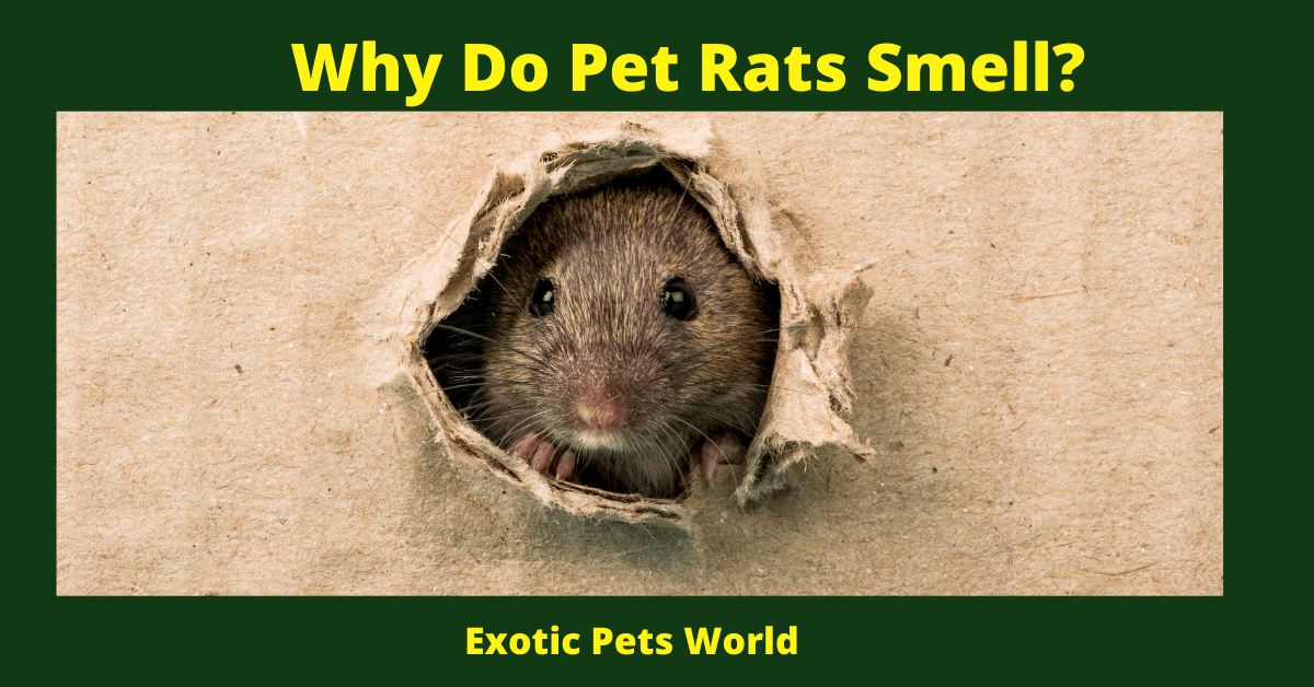 Why Do Pet Rats Smell_