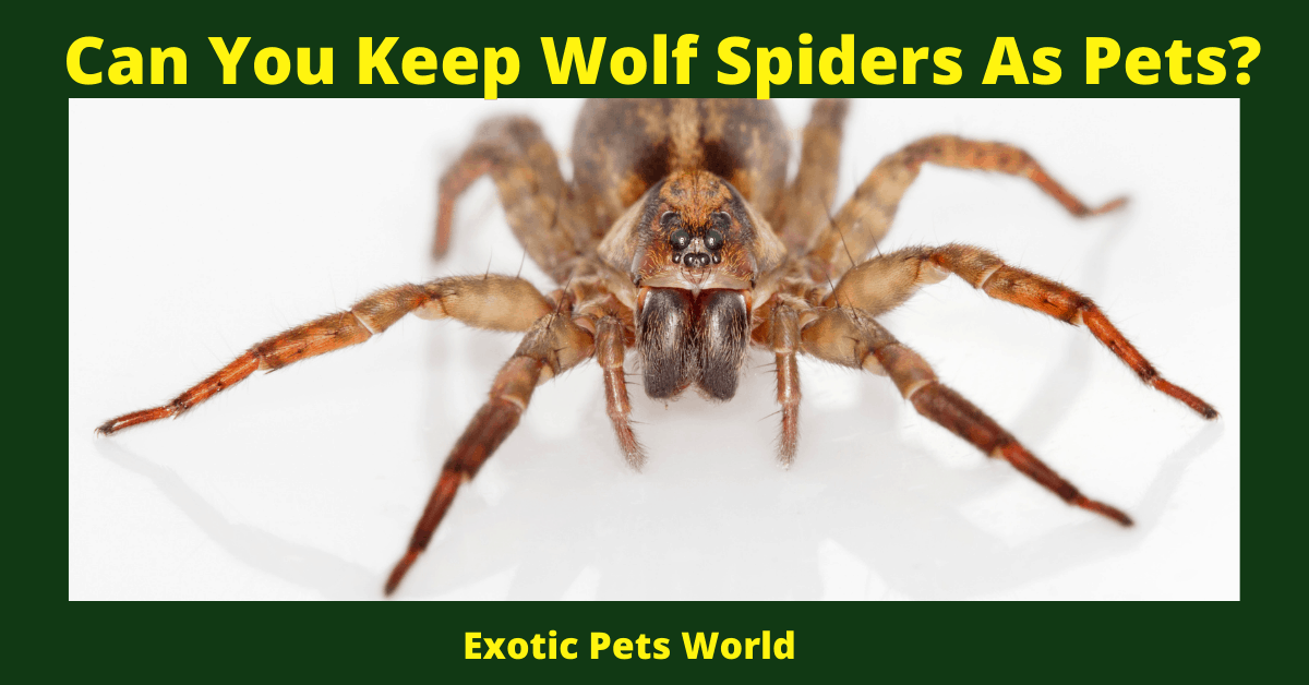 Can You Keep Wolf Spiders As Pets?