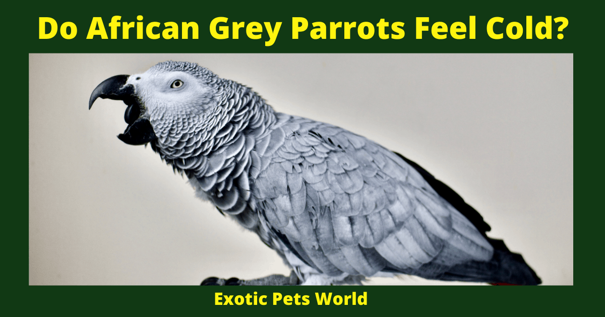 Do African Grey Parrots Feel Cold_