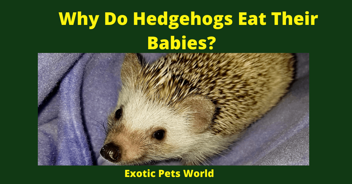 Why Do Hedgehogs Eat Their Babies?