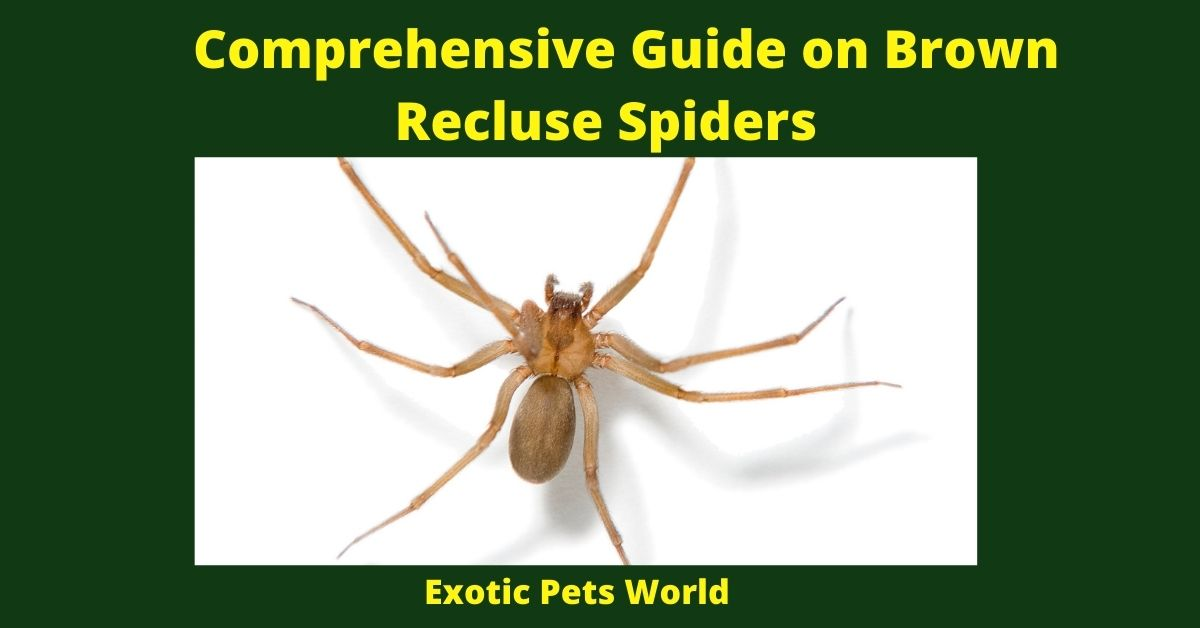 Comprehensive Guide on Brown Recluse Spiders