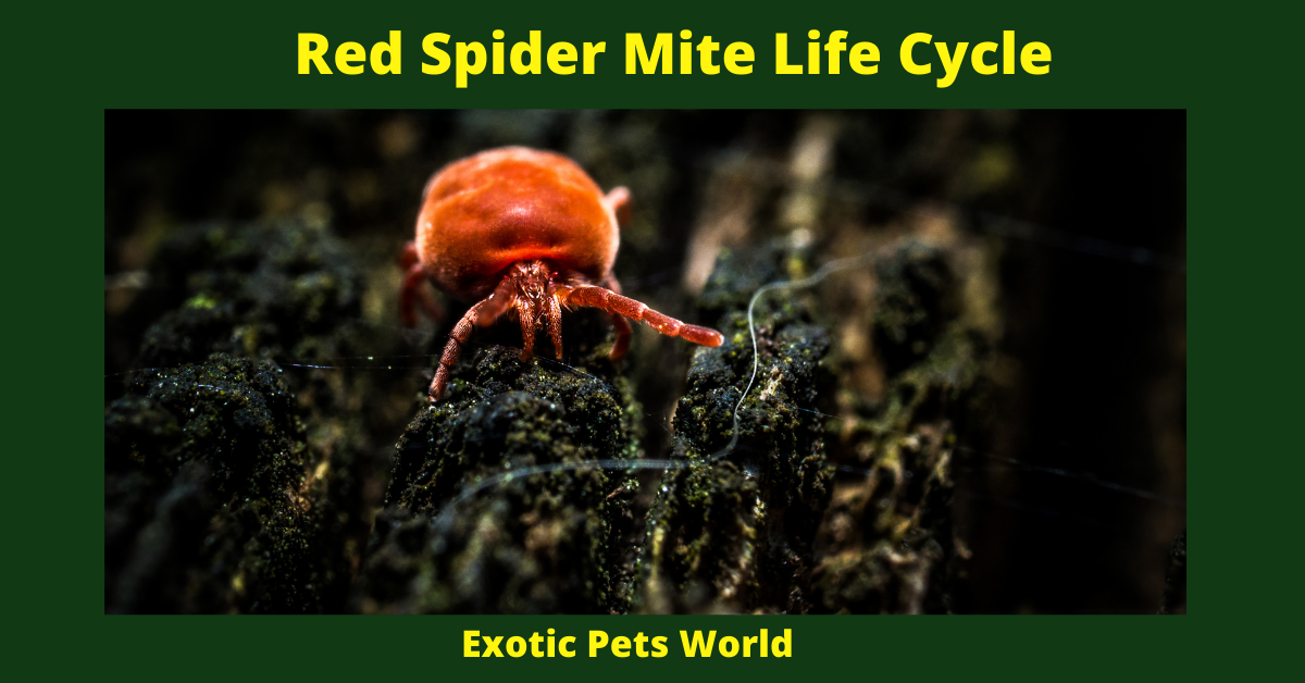 Red Spider Mite Life Cycle