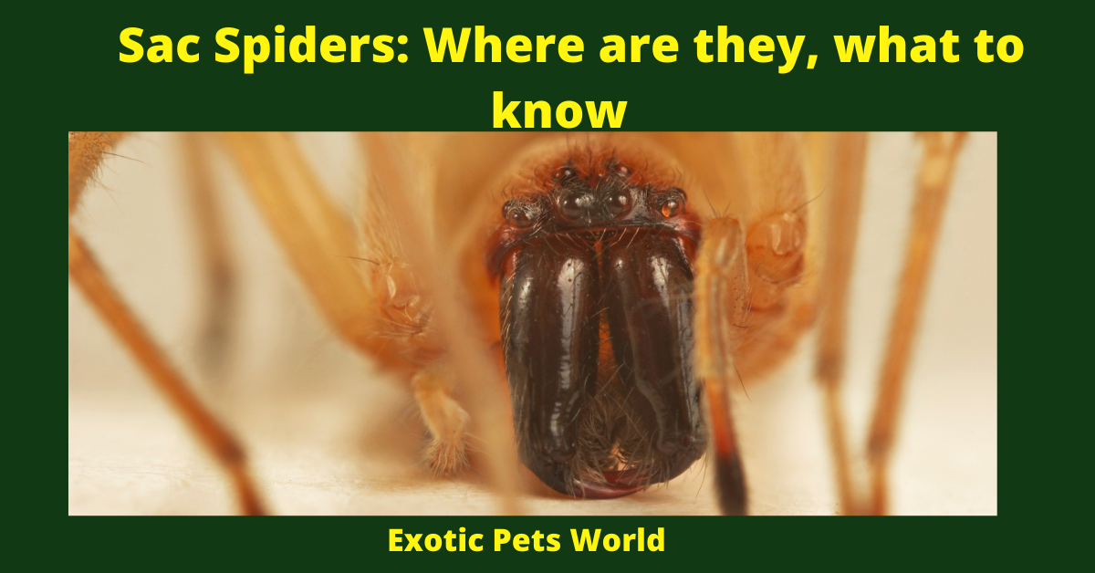 Sac Spiders: Where are they, what to know
