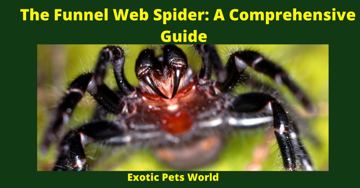 The Funnel Web Spider: A Comprehensive Guide