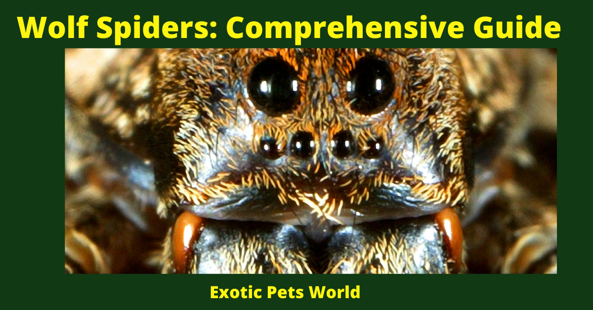 Wolf Spiders: Comprehensive Guide