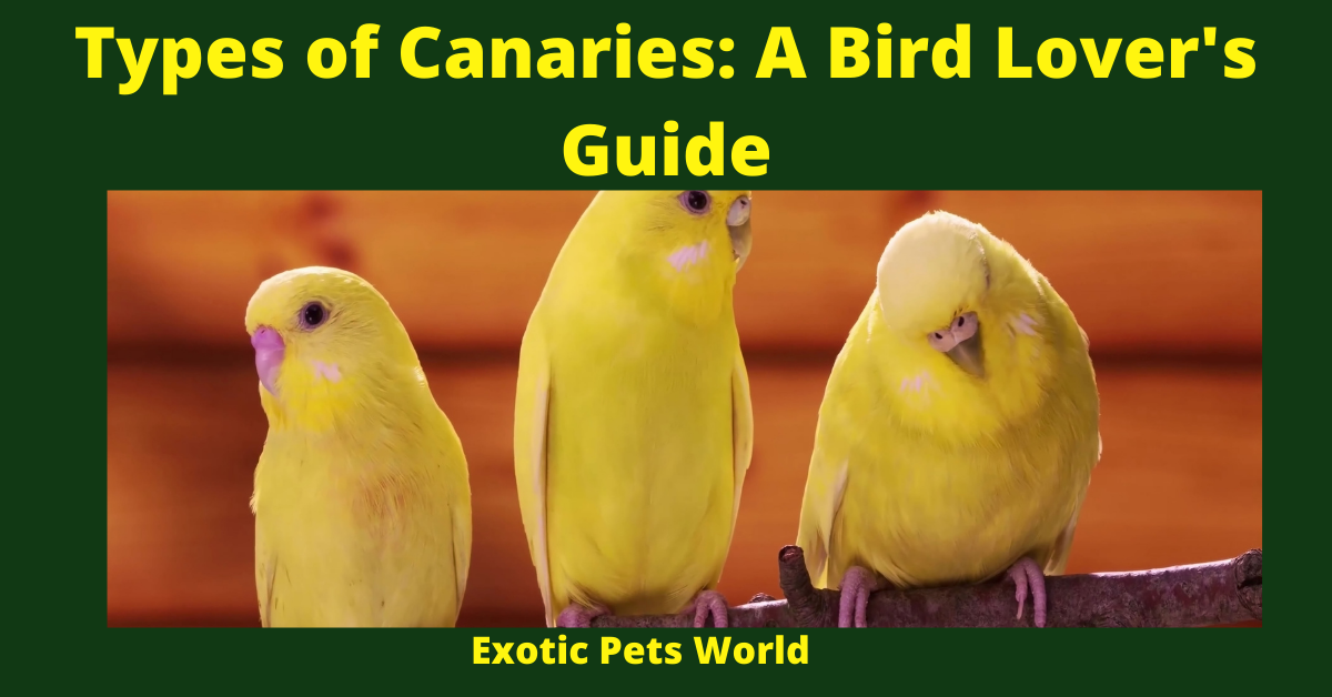 Types of Canaries: A Bird Lover's Guide