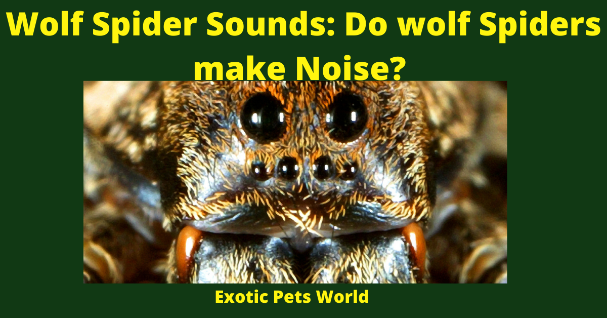 Wolf Spider Sounds: Do wolf Spiders make Noise?